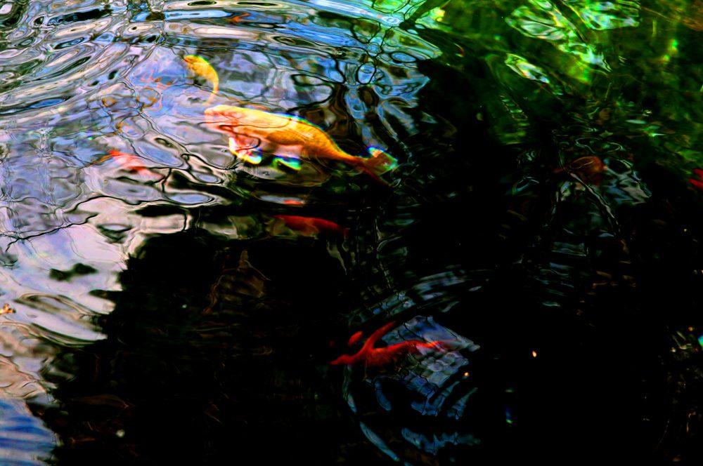 Goldfish/φωτο: Σπύρος Τσακίρης
